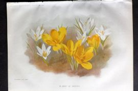Amateur Gardening 1895 Botanical Print. A group of Crocuses